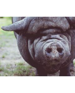 Het houden van hobbyvarkens online cursus